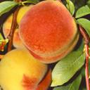 Pfirsiche - Nektarinen